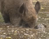 Wild Boar (sus scrofa) rooting in muddy water - on camera. A pig in the mud is a happy pig.