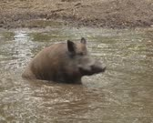 Wild Boar (sus scrofa) wallowing in muddy water. Mud baths keep pigs cool the mud protects the swine from the sun. Scrubbing the mud is a method for parasite removal.