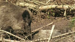 European wild boar (sus scrofa) grooming piglet in mud. The piglets are not full grown until the age of four or five years.