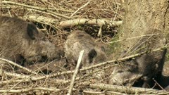 European wild boar (sus scrofa) with piglets on branches in nest. The piglets are not full grown until the age of four or five years.
