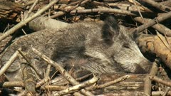 European wild boar (sus scrofa) piglet asleep and wakes up. The piglets are not full grown until the age of four or five years.