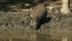 European wild boar (sus scrofa) at mud pool, drinking and foraging. Wild boar are omnivorous scavengers, eating almost anything they come across.