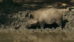 European wild boar (sus scrofa) foraging at mud pool. Wild boar are omnivorous scavengers, eating almost anything they come across.