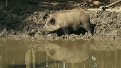 European wild boar (sus scrofa) foraging at mud pool - side view. Wild boar are omnivorous scavengers, eating almost anything they come across.