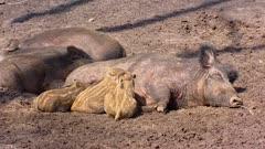 European wild boar with piglets (sus scrofa)  lie in mud, suckling