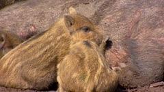 European wild boar with piglets (sus scrofa)  lie in mud, suckling - close up