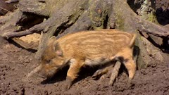 European wild boar piglet (sus scrofa) scrubs against stump. Scrubbing mud is a method for parasite removal.