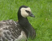 Barnacle goose, Branta leucopsis. The barnacle goose is a medium-sized goose and breed mainly on the Arctic islands of the North Atlantic
