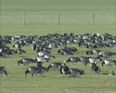 Migrating Barnacle geese (Branta leucopsis) forage in meadow Dutch polder