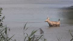 Pere Davids deer, stag wading through lake. The Elaphurus davidianus or Milu, prefers marshland. It feeds on grass and aquatic plants.