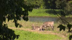 Pere David's deer,  Elaphurus davidianus or Milu, hind lies down at lakeside, side by side with another hind, front legs first