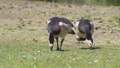 Barnacle goose  (Branta leucopsis) foraging, 2 shot.