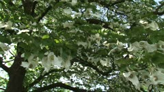 Dove tree or Pocket Handkerchief Tree in bloom with fluttering white bracts - on camera + pan.