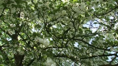 Dove tree or Pocket Handkerchief Tree in bloom + tilt down + hold branch with fluttering white bracts.