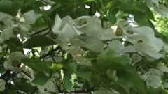 Dove tree or Pocket Handkerchief Tree in bloom - low angle white flowers hang in long rows beneath the level branches.