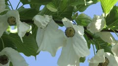 Dove tree or Pocket Handkerchief Tree in bloom agains blue sky - close up true flowers with reddish-purple anthers,clustered into a ball between the hanging white bracts.