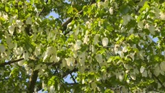 Fluttering white bracts of the Dove Tree, Davidia involucrata Baillon,  Also known as the Pocket Handkerchief Tree because the fluttering white bracts resemble a folded handkerchief