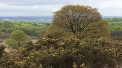 Beech tree and blooming gorse on glacial formed landscape + pan. The Veluwe is the largest push moraine complex in The Netherlands. POSBANK, VELUWE NATIONAL PARK.
