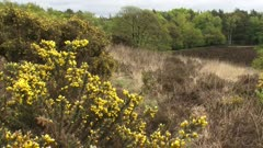 Blooming gorse on glacial hills and forest edge + tilt down. The Veluwe is the largest push moraine complex in The Netherlands. POSBANK, VELUWE NATIONAL PARK