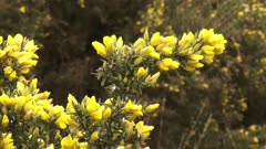 Blooming gorse (Ulex europaeus) close up + zoom out glacial landscape, moorland and beech forest. Veluwe, The Netherlands