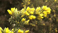Blooming gorse (Ulex europaeus) close up branch. Common Gorse is native to much of western Europe, where it ususally grows on dry, sandy soils.