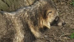 "raccoon dog looks towards camera and walks away (exits frame). When used on clothing, the fur of the raccoon dog (Nyctereutes procyonoides) is called ""murmansky"" fur."