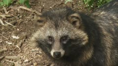 "raccoon dog looks up toward camera. When used on clothing, the fur of the raccoon dog (Nyctereutes procyonoides) is called ""murmansky"" fur."