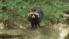 "Raccoon dog stands in forest looking around and at camera. When used on clothing, the fur of the raccoon dog (Nyctereutes procyonoides) is called ""murmansky"" fur."