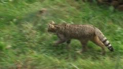 Wildcat walks away in meadow - striped tabby