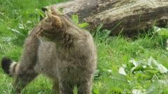 Wildcat walks stands in meadow and walks away - exits frame