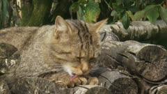 Wildcat (felis sylvestris) lies on wood stack grooming paw
