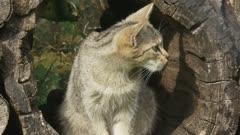 Wildcat kitten sits in hollow log