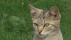 Wildcat kitten  (felis sylvestris) sits in meadow