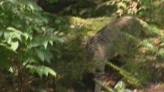 Wildcat (felis sylvestris) in forest