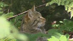 Wildcat (felis sylvestris) hidden in forest, grooming