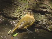 New Zealand Bellbird, Anthornis melanura, drinks from puddle.