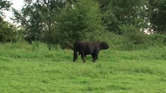 Galloway bull bellowing. Galloways are famed for their hardiness and can be used as large herbivore in nature reserves.