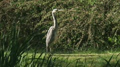 Grey Heron (Ardea cinerea) standing at the bank of a pond. The grey heron eats fish, frogs and toads, insect, moles and small rodents