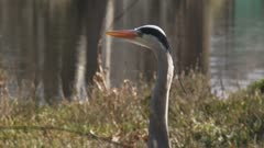 grey heron (Ardea cinerea) stands still at the bank of a pond
