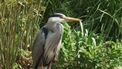 grey heron (Ardea cinerea) stands still at the bank of a pond - medium shot