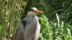 grey heron (Ardea cinerea) stands still at the bank of a pond - moves head - close up