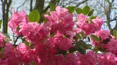 Rhododendron in full bloom with large clusters of bell-shaped pink flowers