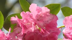 Pink Rhododendron in full bloom under leafless trees, early spring - close up.