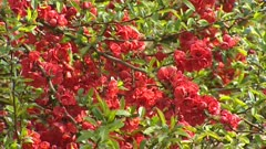 Japanese quince  (Chaenomeles) in bloom - red flowers, full screen