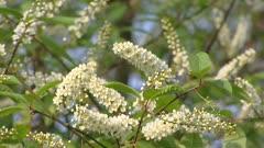 Bird Cherry flower racemes, Prunus padus Watereri in full bloom - close up