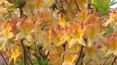 Rhododendron, Azalea Mollis in bloom - full screen yellow orange flowers