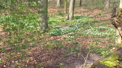 A carpet of wood anemones, anemone nemorosa in bloom on forest ground. The Wood Anemone is one of the earliest spring flowers. It blooms before surrounding trees begin to grow leaves