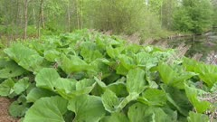 Common Butterbur (Petasites hybridus) on pond edge + pan pond