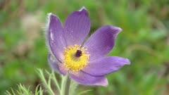 Pulsatilla vulgaris or Pasque flower blooming in early spring