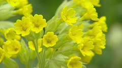 Cowslip (primula veris) full screen cluster of yellow flowers in early spring
